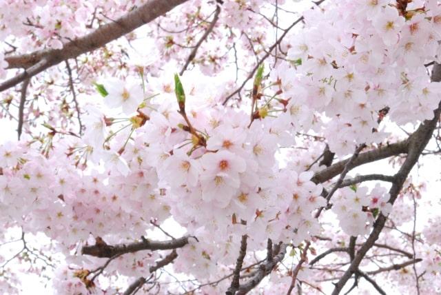 DAPUMP 新曲 桜